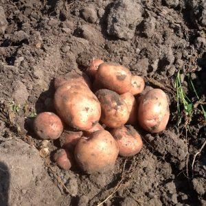Aardappelen Biologisch