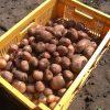 Woudster aardappel oogst in krat